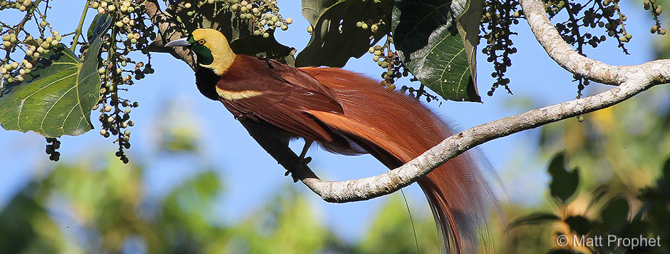 Birds of Paradise - Papua New Guinea