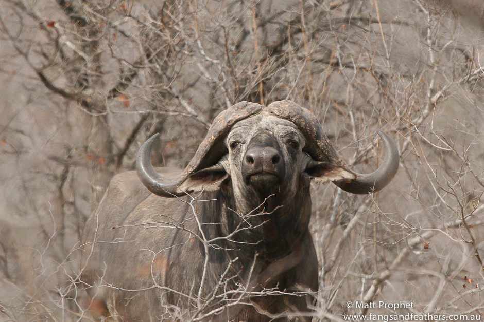 African buffalo | Kruger National Park